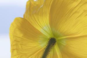 USA, Washington State, Seabeck. Underside of Poppy Flower by Don Paulson