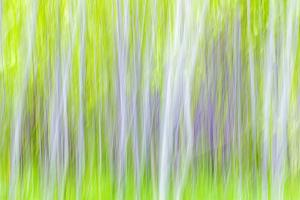 USA, Washington State, Yakima River Trail. Abstract of Aspen Trees by Don Paulson