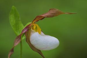 Washington, Kamiak Butte County Park. Close-up of Lady Slipper Orchid by Don Paulson