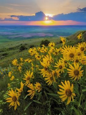 Washington State, Palouse Hills. Landscape with Douglas' Sunflowers by Don Paulson