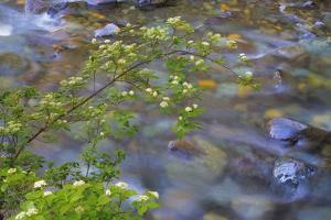 Washington, Wenatchee NF. Red Osier Dogwood over Teanaway River by Don Paulson