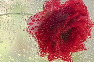 Schwartz - Rose in a Light Rain by Don Schwartz