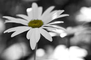 Schwartz - Sun-Speckled Daisy by Don Schwartz
