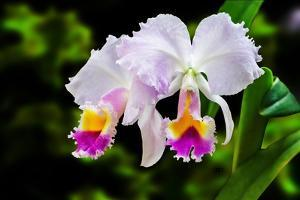 White, Yellow and Fuchsia Orchids by Don Spears