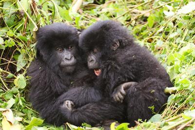 Primates baby Gorillas in Rwanda by Donald Bruschera