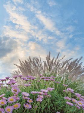 Beach Astor and Pennisetum Grass by Donald Paulson
