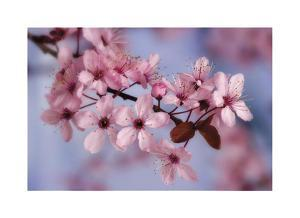 Cherry Blossoms I by Donald Paulson