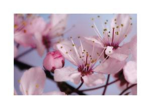 Cherry Blossoms II by Donald Paulson