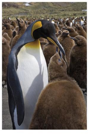 King Penguin Feeding Chick by Donald Paulson