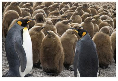 King Penguins With Chicks by Donald Paulson