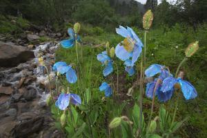 Blue Poppy (Meconopsis Betonicifolia) by Dong Lei