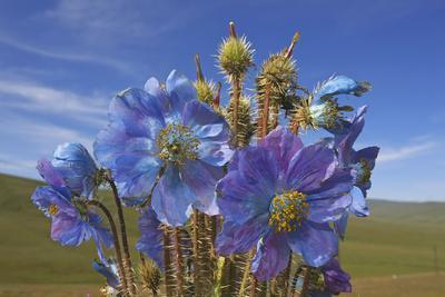 Blue poppy, Sanjiangyuan National Nature Reserve, Qinghai Province, China.
