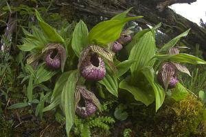 Chinese Lady Slipper Orchid Flowers (Cypripedium Tibeticum) by Dong Lei
