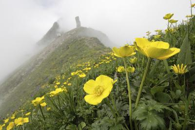 Flowers, Balang Mountain, Wolong National Nature Reserve, Sichuan Province, China