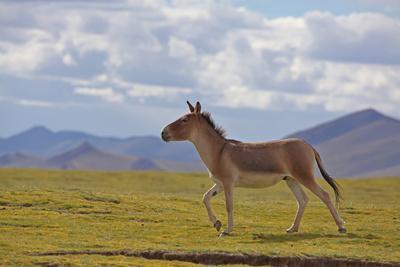Kiang, Sanjiangyuan National Nature Reserve, Qinghai-Tibet Plateau, Qinghai Province, China