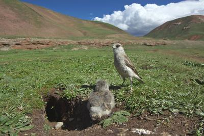 White-rumped Snowfinch with chick, Qinghai-Tibet Plateau, Qinghai Province, China