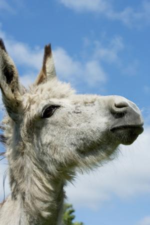Donkey Close-Up of Head