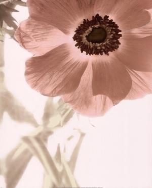 Anemone Radiance by Donna Geissler