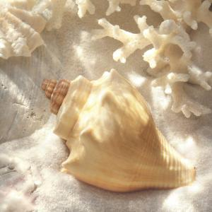 Coral Shell IV by Donna Geissler