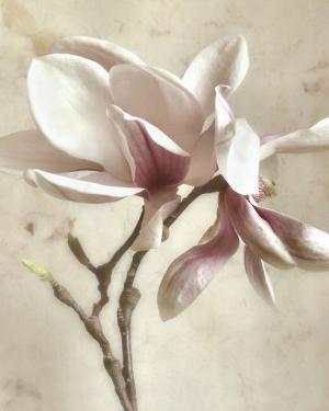 Pink Magnolia II by Donna Geissler