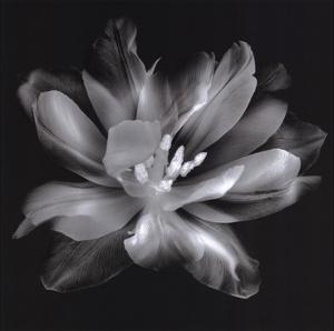 Radiant Tulip III by Donna Geissler