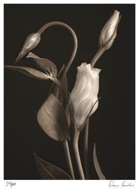White Lisianthus I by Donna Geissler