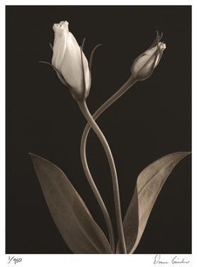 White Lisianthus III by Donna Geissler