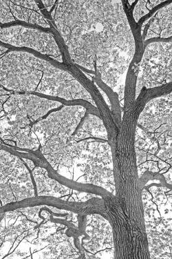 A Beautiful Infrared Artistic Image of an Oak Tree Branches Against the Sky by Donna O'Meara