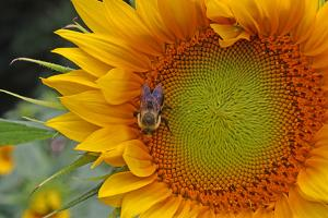 A Bee on a Sunflower by Donna O'Meara