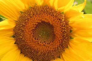 Close Up of a Sunflower by Donna O'Meara