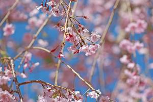Close Up of Japanese Weeping Cherry Tree Blossoms, Prunus Serulata by Donna O'Meara