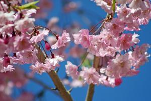 Close Up of Weeping Cherry Tree Blossoms, Prunus Serulata by Donna O'Meara