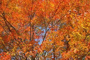 Colorful Sugar Maple Trees, Acer Saccharum, in Autumn Hues by Donna O'Meara