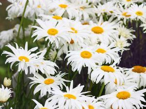 Shasta Daisy, Leucanthemum  Superbum, Flowers by Donna O'Meara