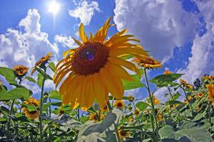 Sun Shines on a Field of Sunflowers by Donna O'Meara