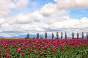 The Cascade Volcanic Mountain Range looms behind a field of tulips by Donna O'Meara