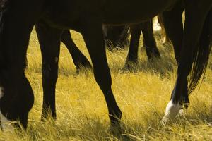 Horses Grazing by Donovan Reese