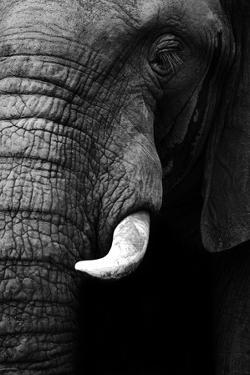 Artistic Black And White Elephant by Donvanstaden