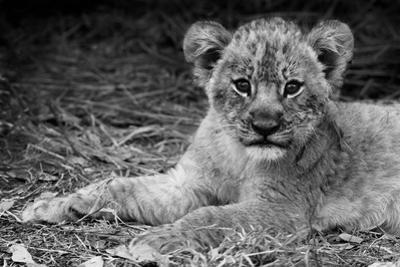Cute Lion Cub In Black And White by Donvanstaden