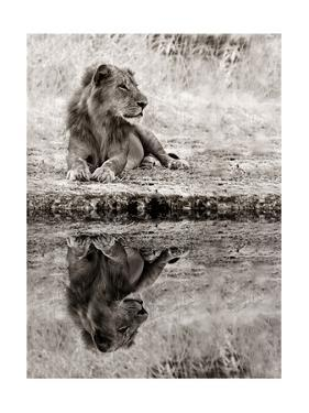 Lion Relaxing At The Waters Edge by Donvanstaden