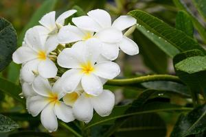 White Plumeria Flowers with Water Drops by Donyanedomam