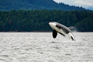 Killer Whale Breaching near Canadian Coast by Doptis