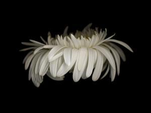 Daisy 10: White Gerbera Daisy by Doris Mitsch