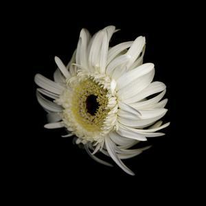Daisy 8: Floating White Gerbera Daisy by Doris Mitsch