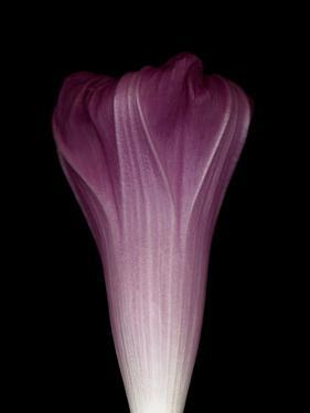 Darkness E1 - Purple Morning Glory Opening by Doris Mitsch
