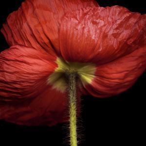 Poppy 9 - Red Icelandic Poppy by Doris Mitsch