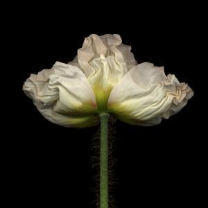 Poppy D: White Icelandic Poppy by Doris Mitsch
