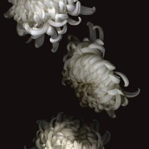 Tumbling White Chrysanthemums by Doris Mitsch
