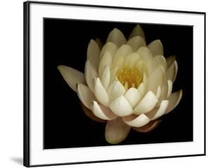 Water Lily A1: Yello & White Water Lily by Doris Mitsch