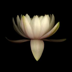Water Lily A11: pink & white water lily by Doris Mitsch